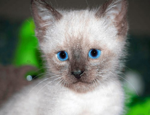 Mouse – Siamese Kitten